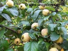 Quince 'Vranja' on 29th September