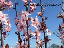 Prunus Pissardii Nigra in early March sunshine