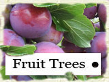You are at all other Fruit Trees for sale (except Apple Trees)