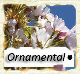 Click to go to the first page or Ornamental Trees