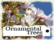 You are at Ornamental Trees for sale - page 2 (of 3)